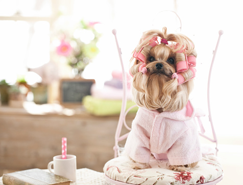 Pet Clothing「Yorkshire Terrier Dog at the Grooming Salon」:スマホ壁紙(2)