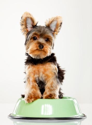 Three Quarter Length「Yorkshire Terrier Teacup in a food dish」:スマホ壁紙(12)