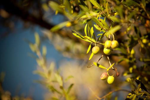 Grove「Olives hang on a branch」:スマホ壁紙(16)