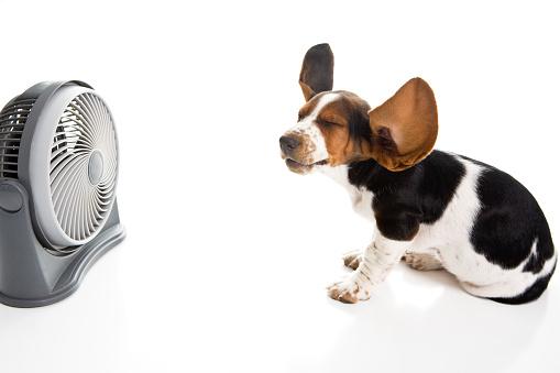 Puppy「Beagle and Fan with Blowing Ears」:スマホ壁紙(1)