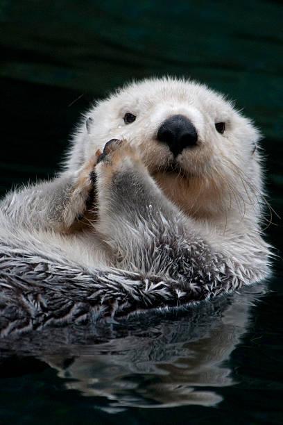 Sea Otter, closeup:スマホ壁紙(壁紙.com)