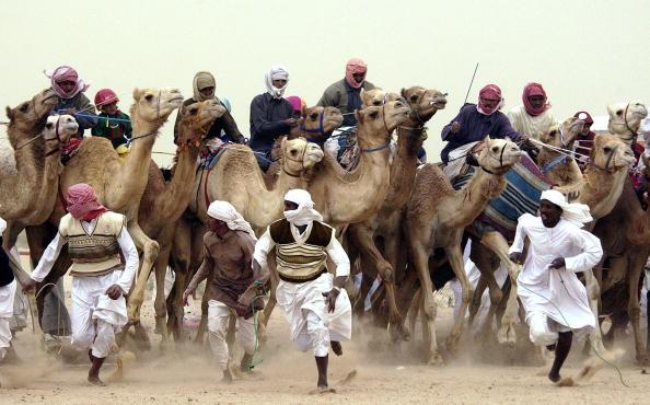 Domestic Animals「Camel Races Continue In Kuwait Despite Threat Of War」:写真・画像(5)[壁紙.com]