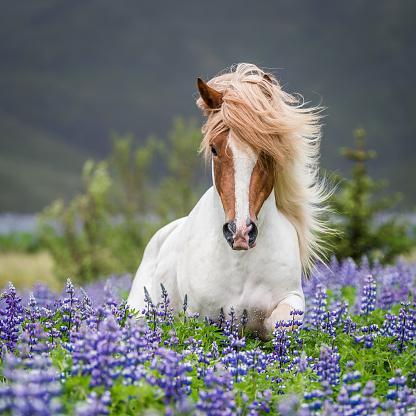 Animal Mane「Horse running by lupines」:スマホ壁紙(1)