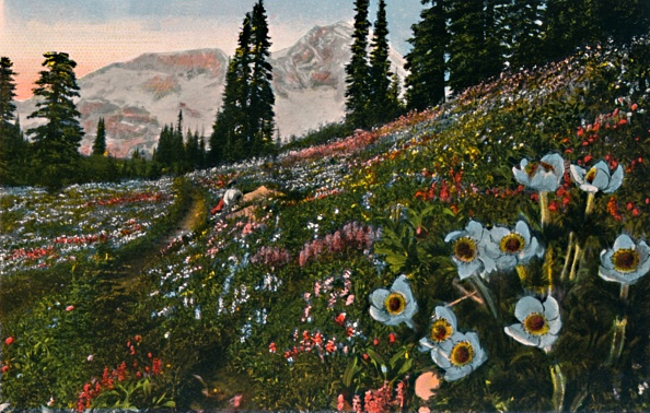 Wildflower「The Anemone In Mount Rainier National Park」:写真・画像(3)[壁紙.com]
