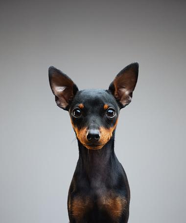 Animal Ear「4 months old miniature pinscher puppy」:スマホ壁紙(7)