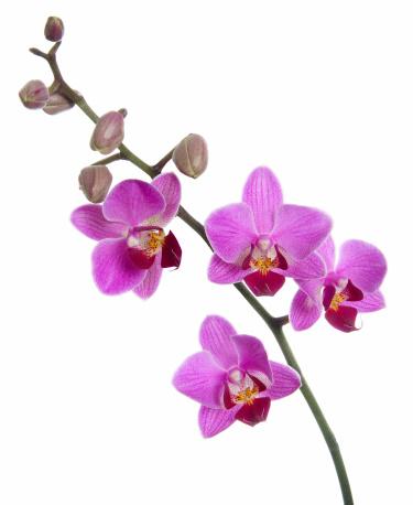 Botany「Orchid in bloom」:スマホ壁紙(18)