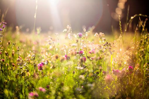 ピンク色「Summer meadow at evening twilight」:スマホ壁紙(18)