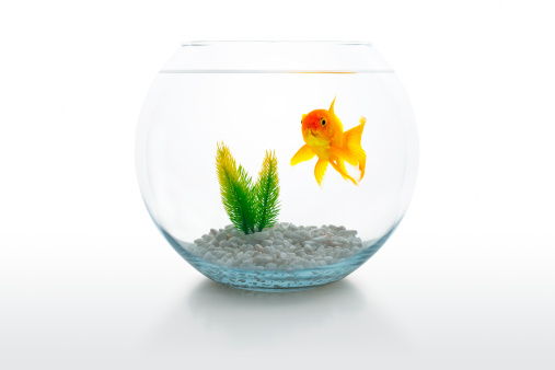 Fish「Goldfish in bowl」:スマホ壁紙(11)