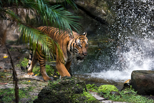 Tiger「Malayan Tiger」:スマホ壁紙(0)