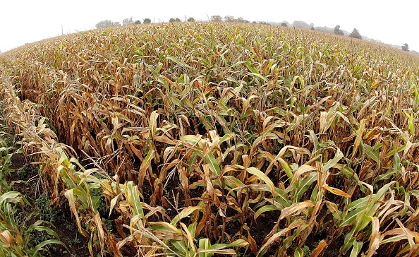 Corn「U.S. Corn And Soybean Crop Outlook Improves」:写真・画像(1)[壁紙.com]