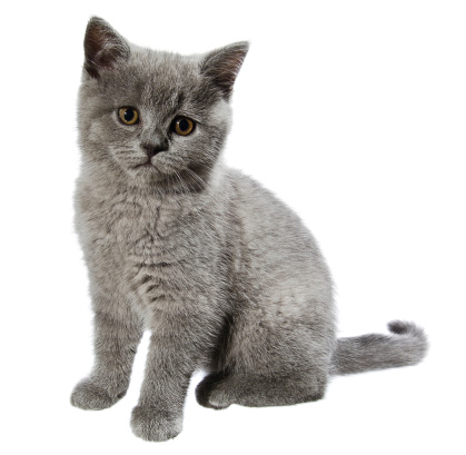 Looking At Camera「british shorthair kitten」:スマホ壁紙(0)