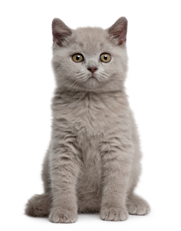 Looking At Camera「British Shorthair Kitten」:スマホ壁紙(5)