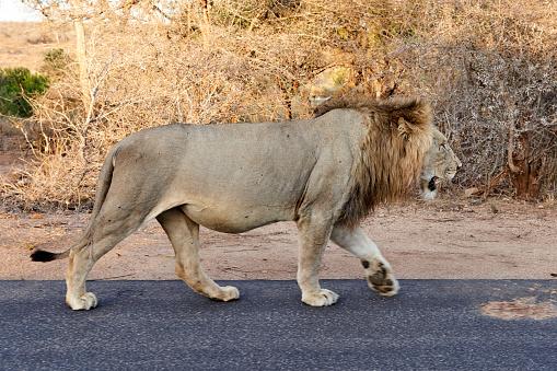 Walking「Male lion walking on a road, Kruger National Park, South Africa」:スマホ壁紙(16)
