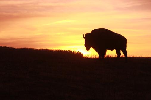Named Animal「Bison at Sunset」:スマホ壁紙(4)