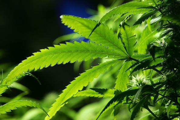 Growth「Ban Introduced On Smoking Marijuana In Public Areas」:写真・画像(7)[壁紙.com]
