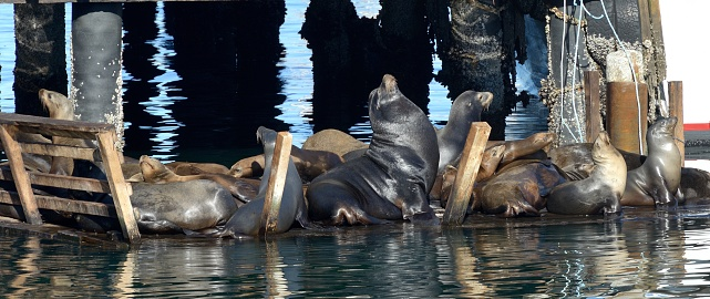 City of Monterey - California「Monterey, sea lions enjoy the pontoons at the foot of the piers.」:スマホ壁紙(6)