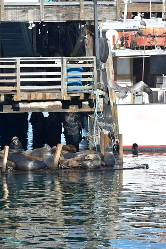 City of Monterey - California「Monterey, sea lions enjoy the pontoons at the foot of the piers.」:スマホ壁紙(16)