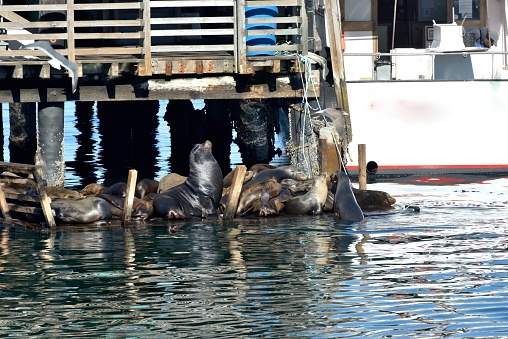 City of Monterey - California「Monterey, sea lions enjoy the pontoons at the foot of the piers.」:スマホ壁紙(9)