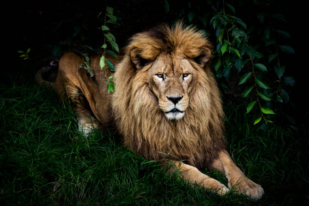 Lion portrait:スマホ壁紙(壁紙.com)