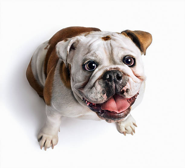 Bulldog looking up:スマホ壁紙(壁紙.com)