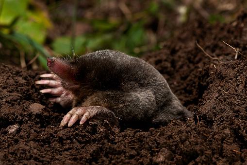 Digging「Talpa europaea (European mole, common mole)」:スマホ壁紙(19)