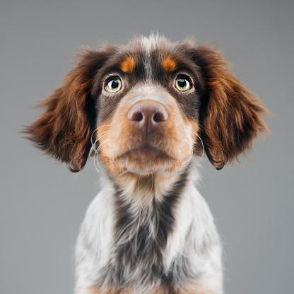 Gray Background「Cute little Epagneul Breton dog portrait」:スマホ壁紙(13)