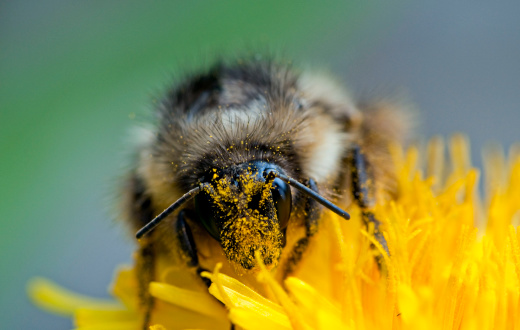 Animal Eye「Cross Pollination by Bumble Bee (Bombus sp.) on dandelion, Glacier National Park, Montana, USA」:スマホ壁紙(12)