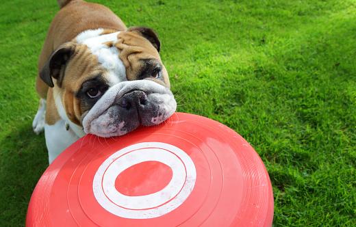 Mammal「Bull dog holding frisbee in mouth」:スマホ壁紙(10)