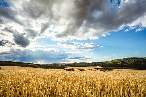 Agricultural Field「Harvest time」:スマホ壁紙(9)
