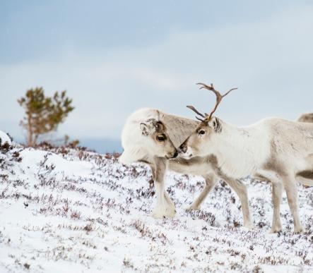reindeer「Cairngorm reindeer in snow」:スマホ壁紙(14)
