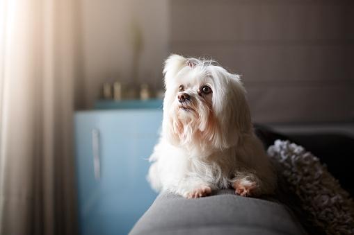 Animal Hair「White Lhasa Apso dog portrait」:スマホ壁紙(8)