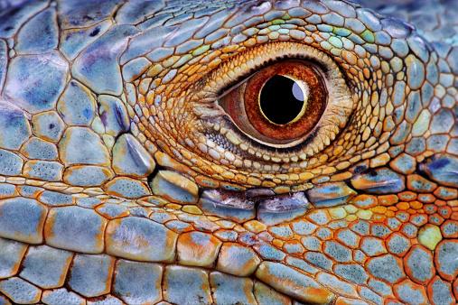 Reptile「Iguana (Iguana iguana) eye, close-up」:スマホ壁紙(19)