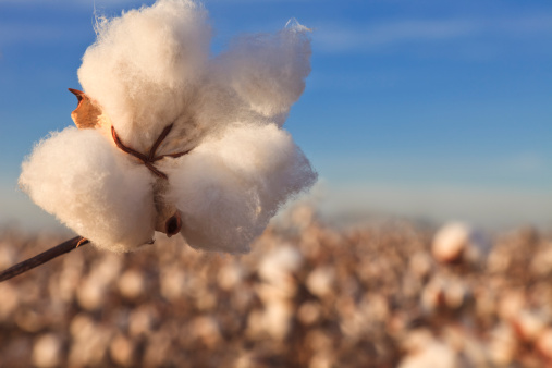 Branch - Plant Part「Cotton in field ready for harvest」:スマホ壁紙(19)