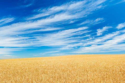 田畑「Field of golden wheat under blue sky and clouds」:スマホ壁紙(19)