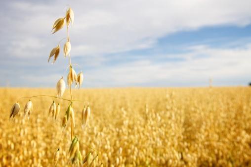Agricultural Field「Field of Golden Oats」:スマホ壁紙(18)