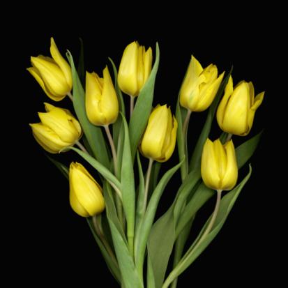 Tulip「Bouquet of yellow tulips (Tulipa), close-up」:スマホ壁紙(14)