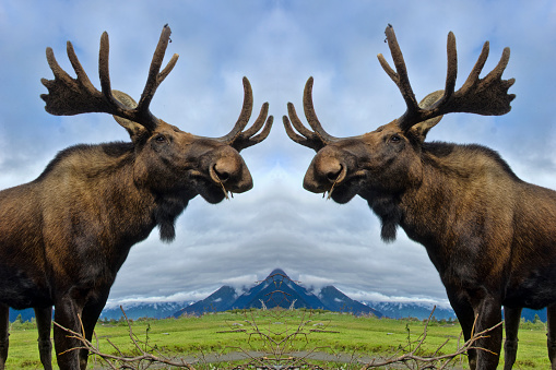 Symmetry「Bull moose mirror image」:スマホ壁紙(7)