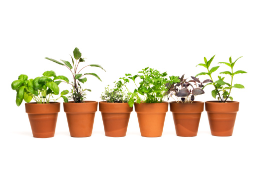 Mint Leaf - Culinary「Potted Plant Herb Spice Garden in Spring Flower Pot Containers」:スマホ壁紙(6)