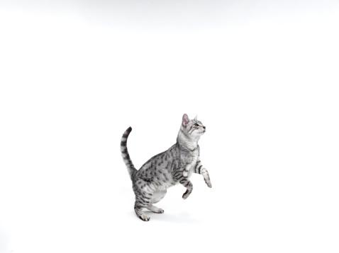 Tabby Cat「Cat just befor jumping」:スマホ壁紙(2)
