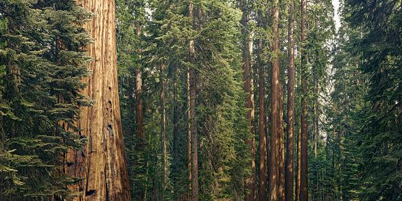 Contemplation「giant sequoia trees」:スマホ壁紙(13)