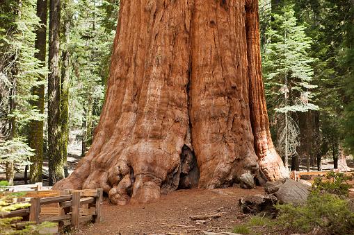 Plant Bark「Giant Sequoia Tree」:スマホ壁紙(12)