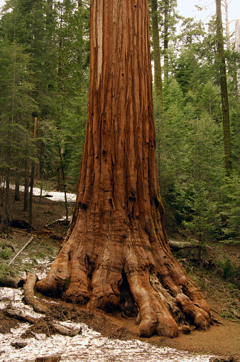 North America「Giant Sequoia in Yosemite National Park」:スマホ壁紙(15)