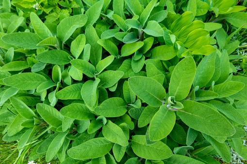 Gardening「Sage in garden」:スマホ壁紙(17)
