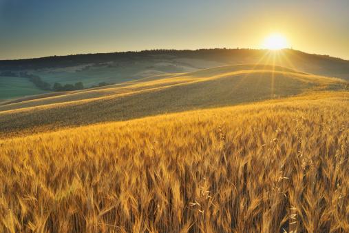 Scenics - Nature「Grainfield with Sunrise」:スマホ壁紙(3)