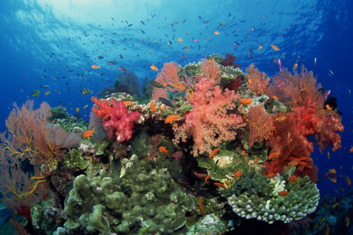Soft Coral「Fish , coral , and sea fans」:スマホ壁紙(9)