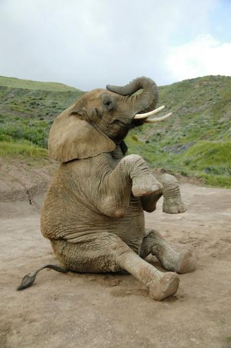 Long「Elephant sitting down with feet up」:スマホ壁紙(2)