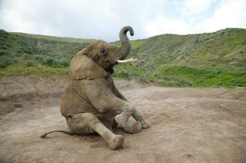 Animal Nose「Elephant sitting」:スマホ壁紙(6)