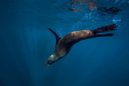 Sea Lion「South Africa, Cape Town, fur seal, Arctocephalus pusillus」:スマホ壁紙(12)