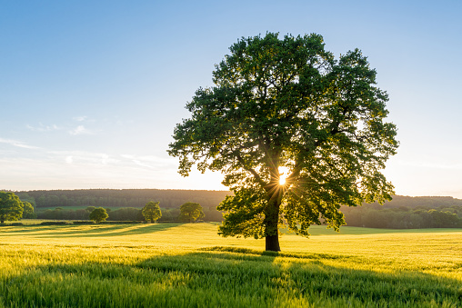 In Silhouette「Sycamore Tree in Summer Field at Sunset, England, UK」:スマホ壁紙(15)