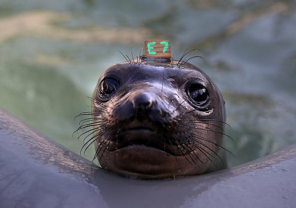Mammal「Orphaned Baby Elephant Seals Overwhelm Marine Mammal Center In California」:写真・画像(9)[壁紙.com]